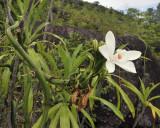 Vanilla_phalaenopsis._Closer.5.jpg