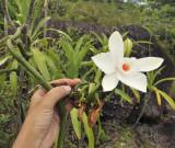 Vanilla_phalaenopsis._Closer.6.jpg