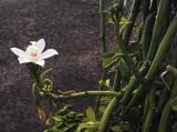 Vanilla_phalaenopsis._Closeup.4.jpg