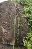 Vanilla_phalaenopsis._Habitat.4.jpg