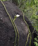 Vanilla_phalaenopsis._Habitat.5.jpg