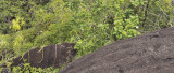 Vanilla_phalaenopsis._Habitat.jpg