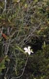 Vanilla_phalaenopsis.2.jpg