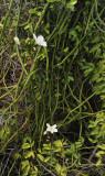 Vanilla_phalaenopsis.3.jpg