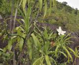 Vanilla_phalaenopsis.5.jpg