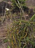 Vanilla_phalaenopsis.6.jpg