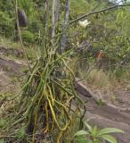 Vanilla_phalaenopsis.8._.jpg