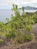 Dracaena_reflexa_var._angustifolia.jpg