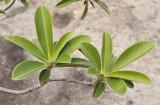 Euphorbia pyrifolia