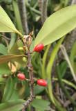 Paragenipa_lancifolia.jpg