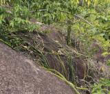 Vanilla_phalaenopsis._Habitat.6.jpg