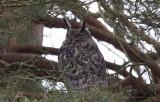 Berguv - Eurasian Eagle Owl (Bubo bubo)
