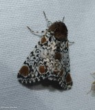 Harris' three-spot moth  (Harrisimemna trisignata), #9286