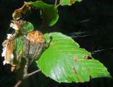 Orb Weaver (Araneus Sp.)