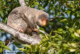 Australian Spotted CuscusSpilocuscus (maculatus) nudicaudatus