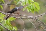 Cuckoos  (Koekoeken)