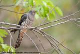 Oriental CuckooCuculus optatus