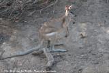 Agile WallabyMacropus agilis jardinii