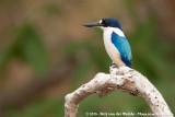 Forest KingfisherTodiramphus macleayii incinctus