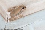 Desert Tree FrogLitoria rubella