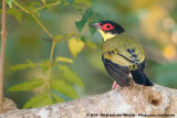 Australasian FigbirdSphecotheres vieilloti flaviventris