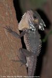 Boyd's Forest DragonLophosaurus boydii