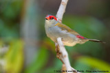 Red-Browed FinchNeochmia temporalis temporalis