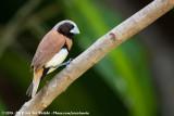 Chestnut-Breasted MannikinLonchura castaneothorax castaneothorax