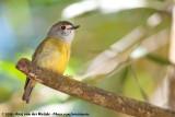 Pale-Yellow RobinTregellasia capito nana