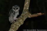Barn Owls  (Kerkuilen)