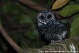 Lesser Sooty OwlTyto multipunctata