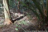 Tooth-Billed BowerbirdScenopoeetes dentirostris