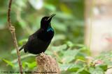 Victoria's RiflebirdPtiloris victoriae