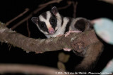 Striped PossumDactylopsila trivirgata picata