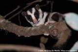 Gliders and Striped Possums  (Buideleekhoorns)