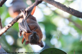 Little Red Flying FoxPteropus scapulatus