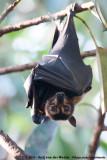 Spectacled Flying FoxPteropus conspicillatus conspicillatus