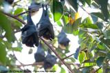Old World Fruit Bats  (Vleerhonden)