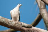 Torresian Imperial PigeonDucula spilorrhoa