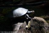 Kreffts River TurtleEmydura macquarii krefftii