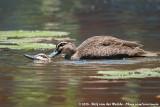 Pacific Black DuckAnas superciliosa superciliosa