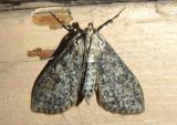 5227 - Palpita aenescentalis; Pyralid Moth species
