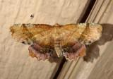 6835 - Cepphis armataria; Scallop Moth