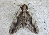 7786 - Ceratomia amyntor; Elm Sphinx