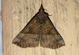 8446 - Hypena deceptalis; Deceptive Hypena