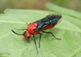 Arge coccinea; Argid Sawfly species