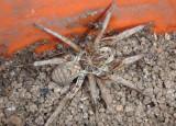 Hogna baltimoriana; Wolf Spider species