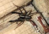Schizocosa crassipes; Wolf spider species
