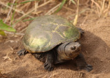 Yellow Mud Turtle
