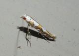 0689 - Acrocercops albinatella; Leaf Blotch Miner Moth species